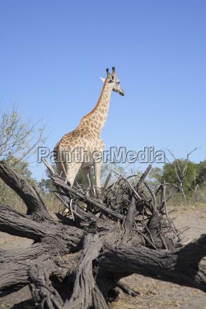 africa botswana delta de okavango jirafa