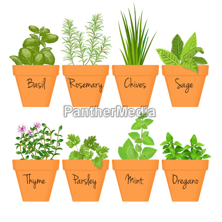conjunto de hierbas culinarias vectoriales en