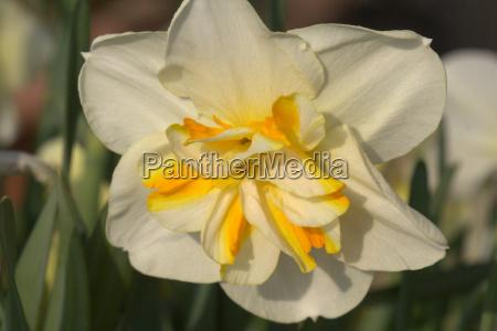 narciso plano amarillo
