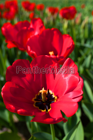 close up of red tulip blossoms