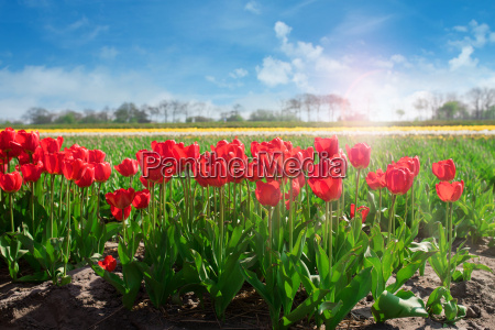 spring landscape with tulip fields