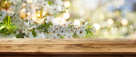 white blossoms in spring with wooden