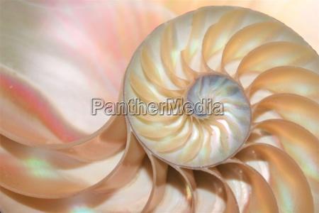 nautilus shell fibonacci symmetry cross section