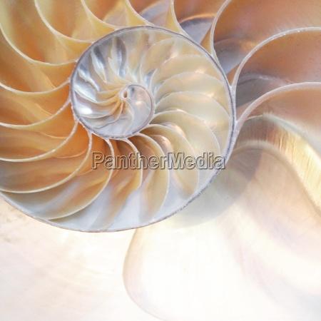 nautilus shell nautilus shell symmetry cross
