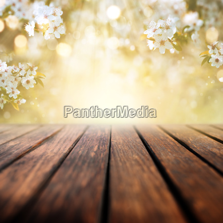 cherry blossoms in spring with wooden