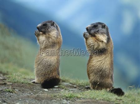 dos marmotas