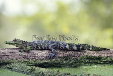 animal reptil fauna caiman tomar el