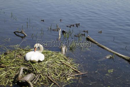pajaro cisne nido huevos bolas cria