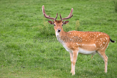 fallow deer in a clearing
