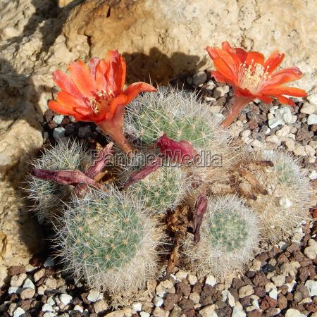 flor planta botanica cactus flor de
