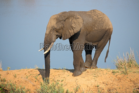elefante africano en habitat natural
