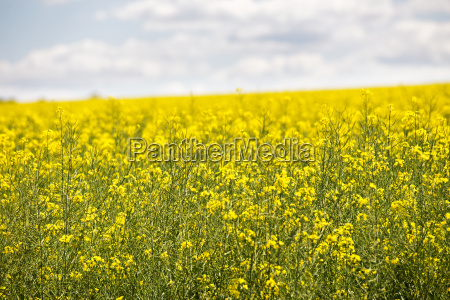 yellow flowering field beautiful countryside sunny