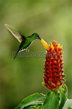colibri brillante verde coronado heliodoxa jacula