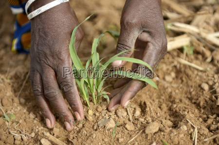 burkina faso village koungo woman planting