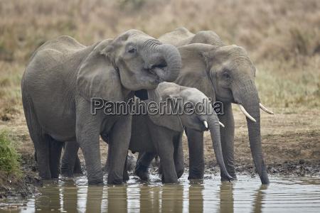three african elephant loxodonta africana drinking