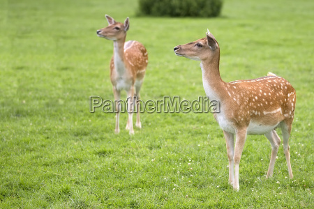 fallow deers in a clearing