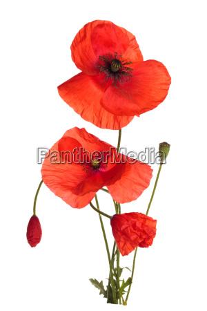 flor de amapola silvestre