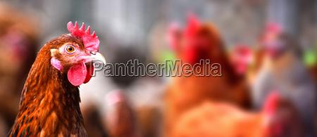 uccello bestiame fattoria pollame libero pollo