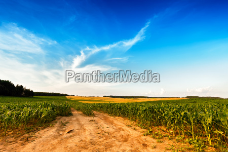 summer landscape with green corn cereals