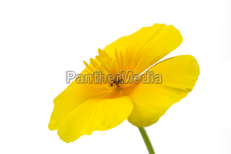 california poppy eschscholzia californica isolated