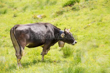 agricultura organica con vacas felices