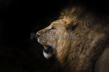 african lion in shadow leo panthera