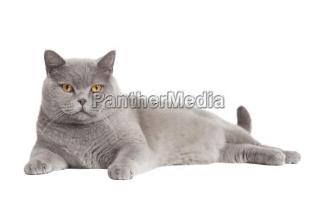 british shorthair cat lanzado
