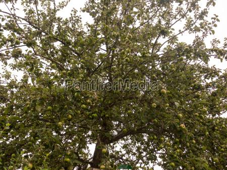 apple tree outside summer overcast weather
