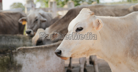 vacas en la granja ganaderia en