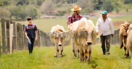 abuelo padre ninyo pastando vacas en