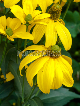 beautiful yellow flower with drooping petals