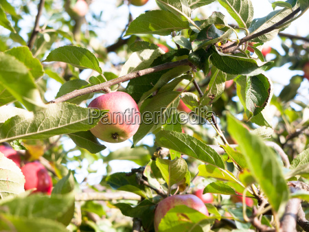close up of red ripe apple