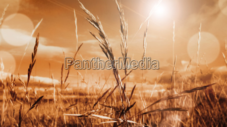 cereal landscape in autumn