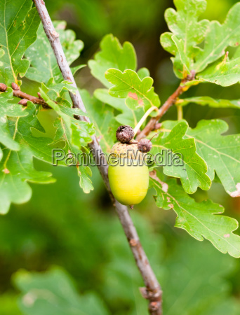 close up of green acorn single