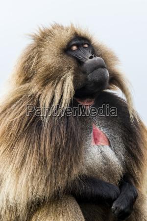 male gelada theropithecus gelada simien mountains