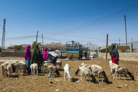cabras en venta en el mercado