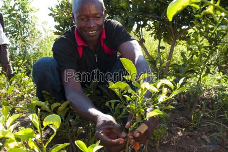 a male farmer grafting orange and