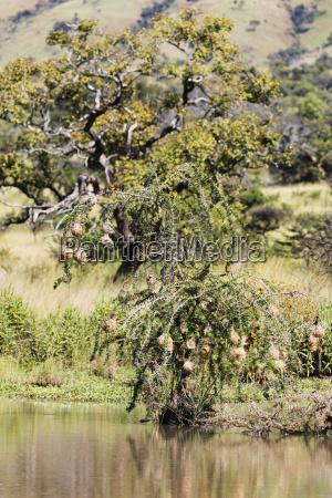 weaver birds nests akagera national park