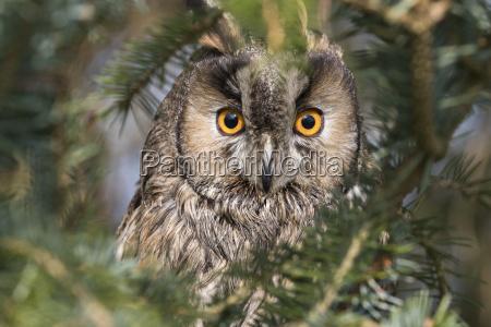 long eared owl asio otus captive