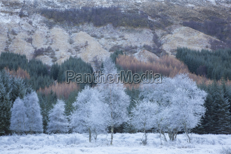 hoar frosted trees in winter at