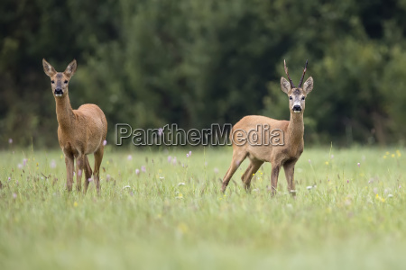 roe deer with buck deer in