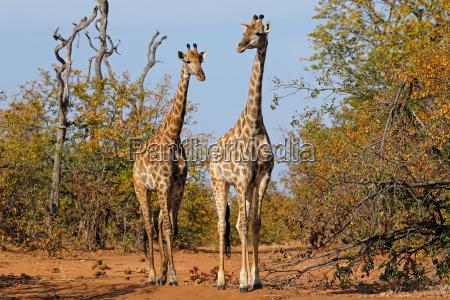 jirafas en habitat natural