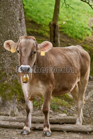 la vaca va al pasto