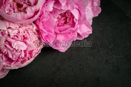 hermoso bueno flor planta peonia las