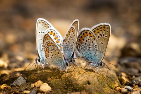 many pretty gossamer winged butterflies resting