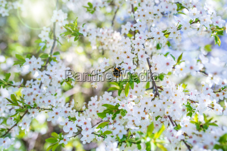 cherry blossoms with sun in spring