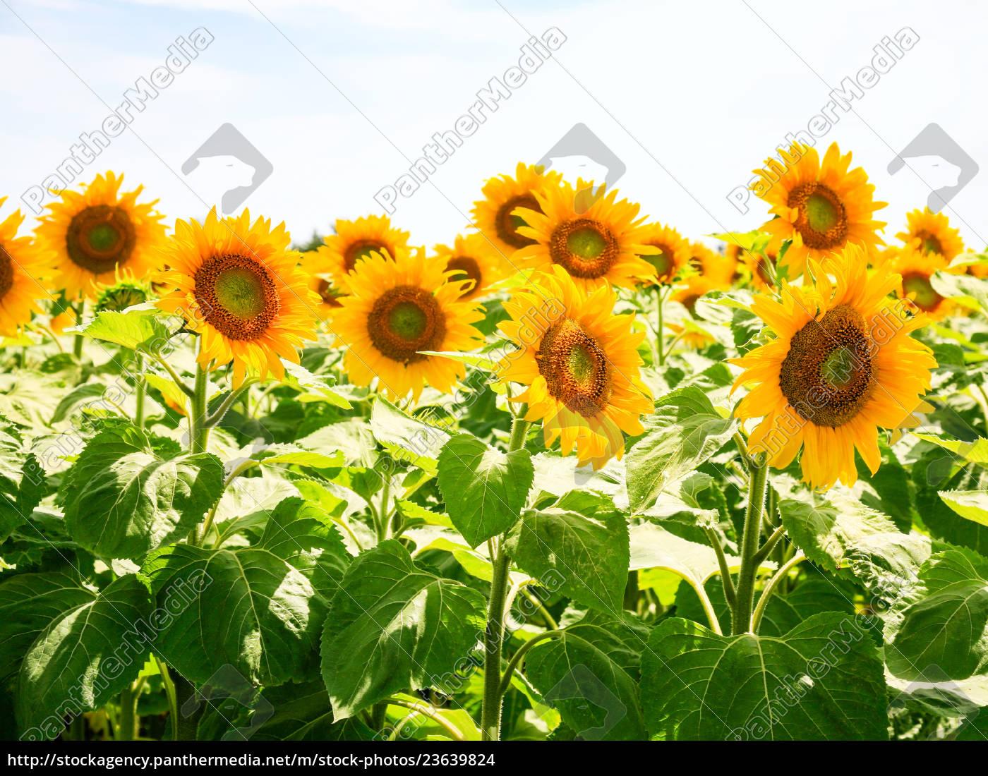 flores, de, girasol, bajo, el, cielo - 23639824