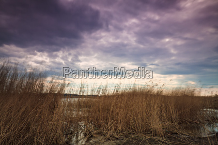 reeds on the coast of the