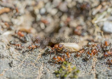hormigas y capullo