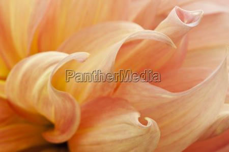 macro of peach colored dahlia petals
